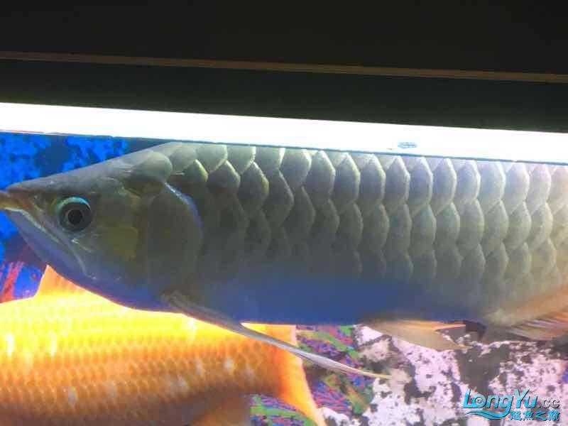 求大神这鱼究竟是什么品种 榆林龙鱼论坛 榆林水族批发市场第5张