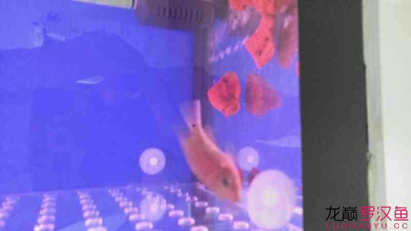 更新一下魚友送的幻彩苗 青岛龙鱼论坛 青岛龙鱼第4张