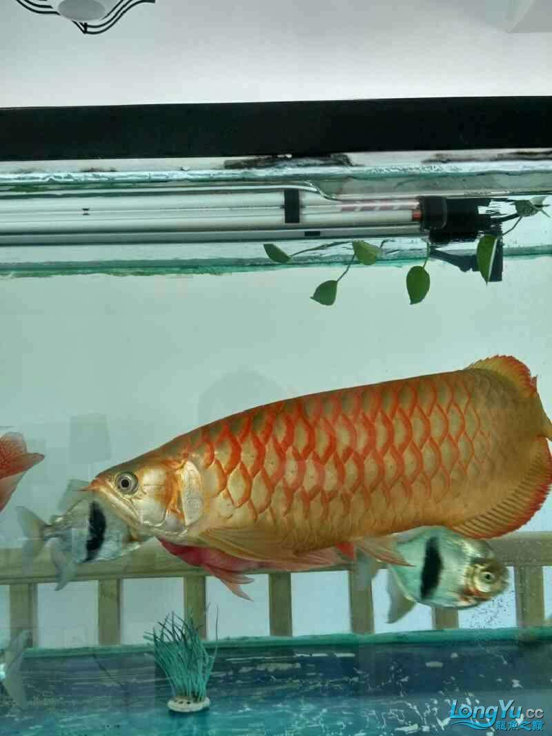 高背?宝石青岛鱼缸定制? 青岛水族批发市场 青岛龙鱼第2张