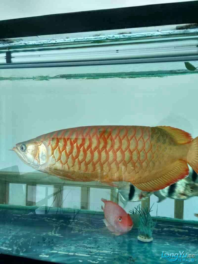 高背?宝石青岛鱼缸定制? 青岛水族批发市场 青岛龙鱼第3张