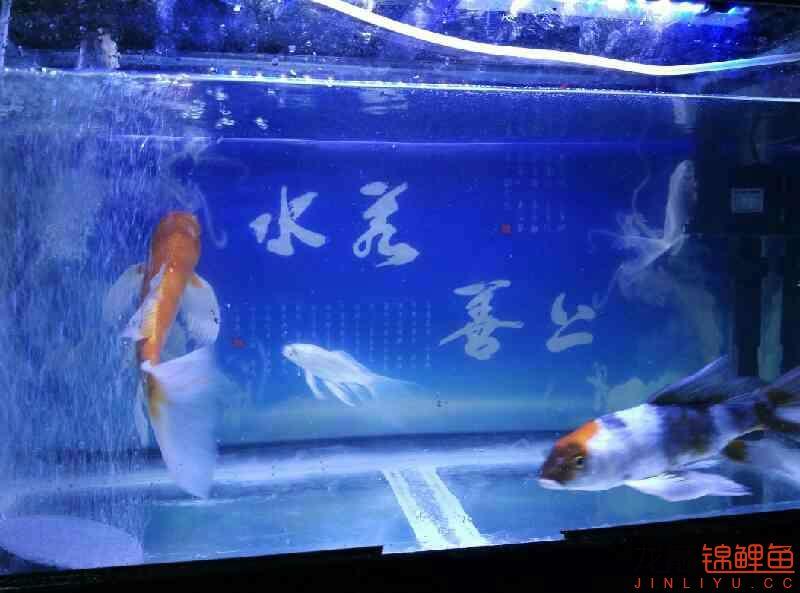 杭州永通中策电线讨厌龙凤的别看哈 杭州水族批发市场 杭州龙鱼第2张