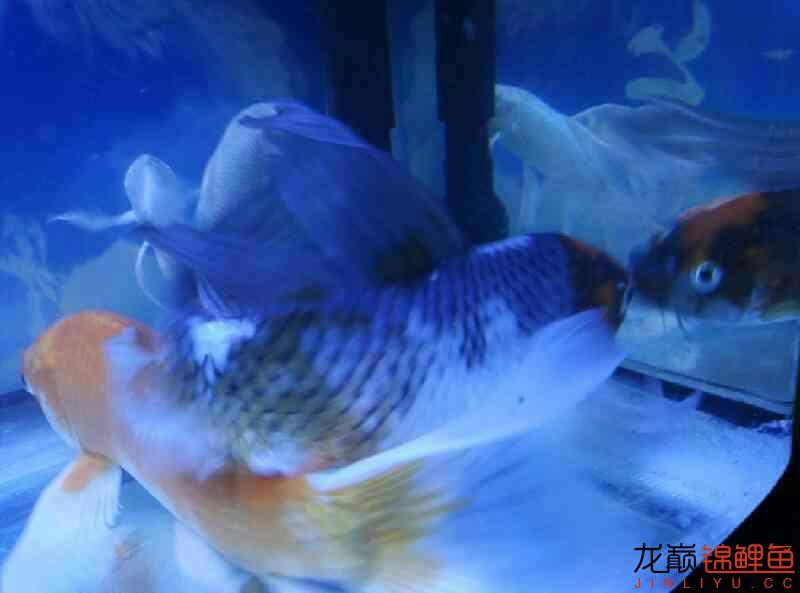 杭州永通中策电线讨厌龙凤的别看哈 杭州水族批发市场 杭州龙鱼第7张