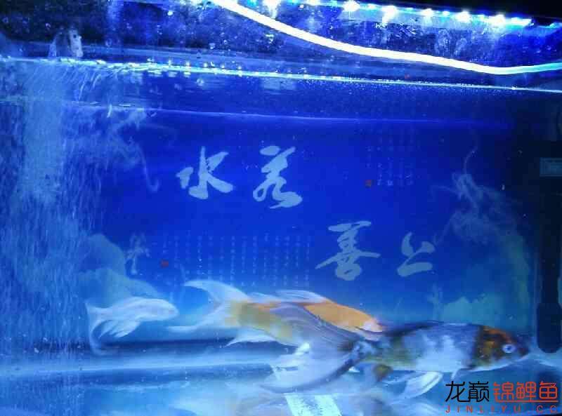 杭州永通中策电线讨厌龙凤的别看哈 杭州水族批发市场 杭州龙鱼第9张