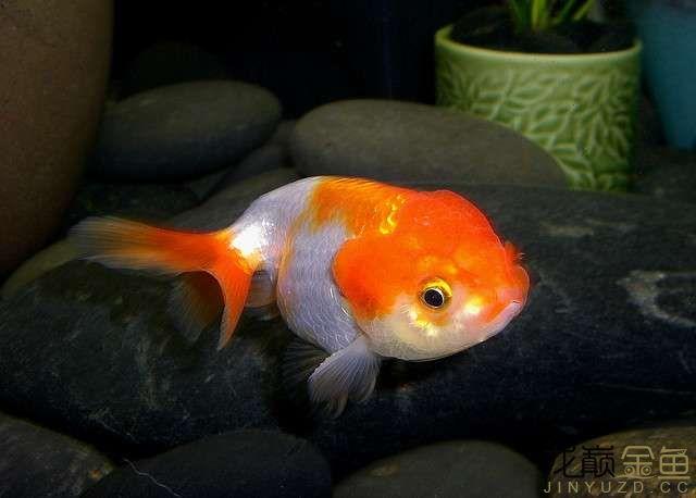 goldfish-lionhead-sschoenick.jpg