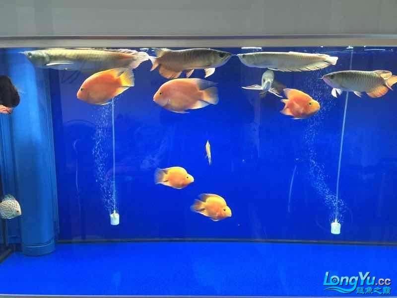 金龙鱼和鹦鹉鱼混养图片