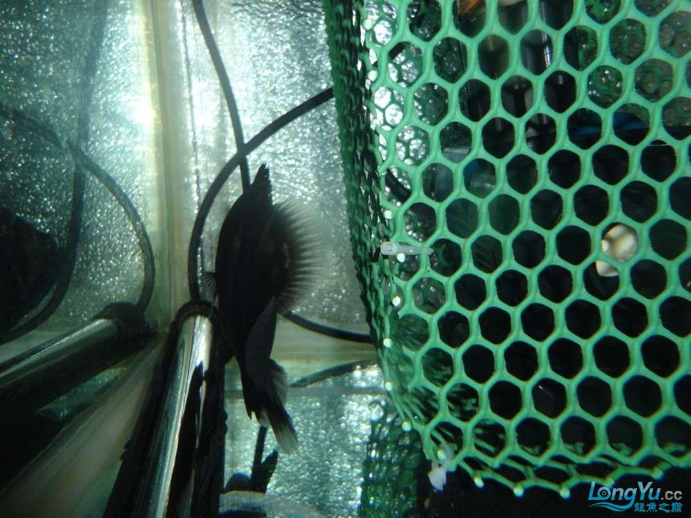 哪种水泵吸鱼便效果好?青岛附近水族馆青岛龙鱼转让 青岛水族批发市场 青岛龙鱼第4张