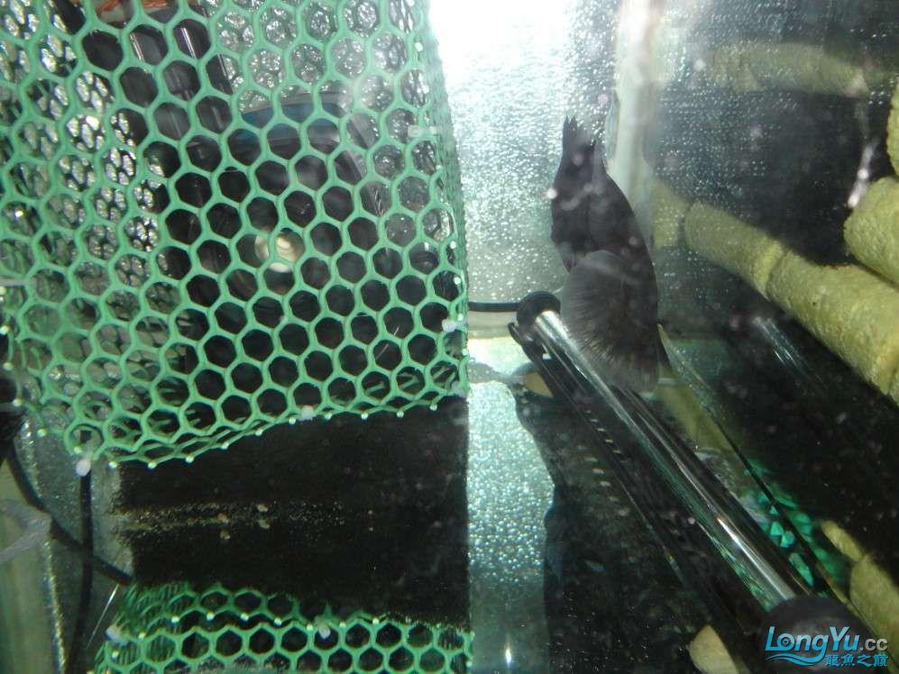 哪种水泵吸鱼便效果好?青岛附近水族馆青岛龙鱼转让 青岛水族批发市场 青岛龙鱼第5张