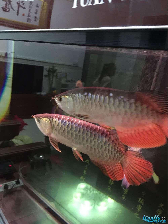 B过捉回来了! 杭州水族批发市场 杭州龙鱼第2张