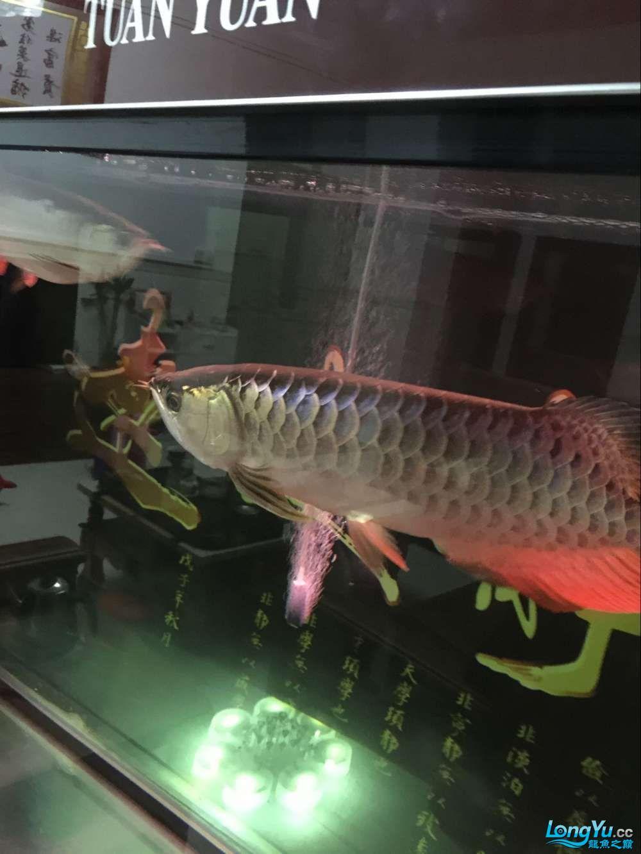 B过捉回来了! 杭州水族批发市场 杭州龙鱼第3张