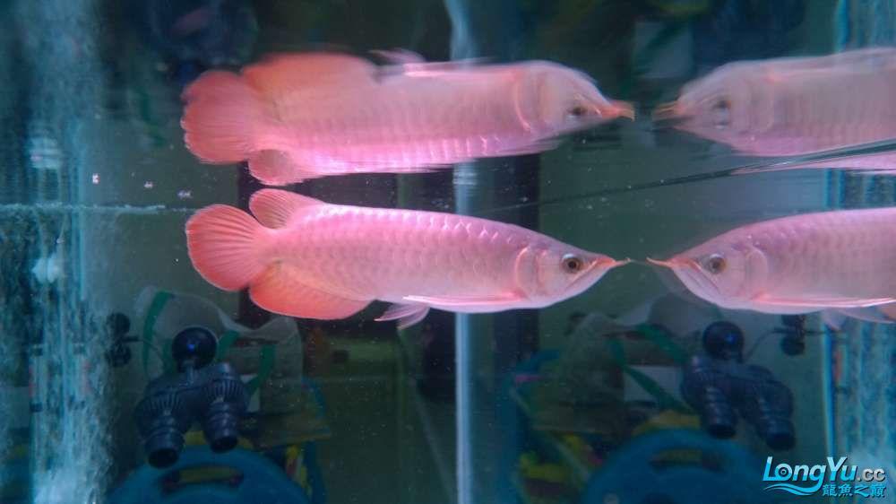 小红和其他成员到家半过多月了! 青岛水族批发市场 青岛龙鱼第5张