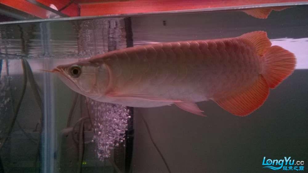小红和其他成员到家半过多月了! 青岛水族批发市场 青岛龙鱼第6张