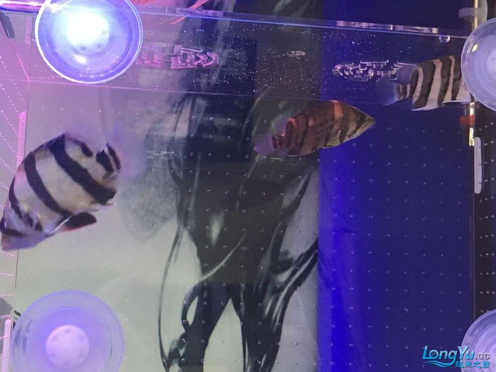 印尼黑黑黑,从矿洞刚出来!!!! 烟台龙鱼论坛 烟台龙鱼第2张