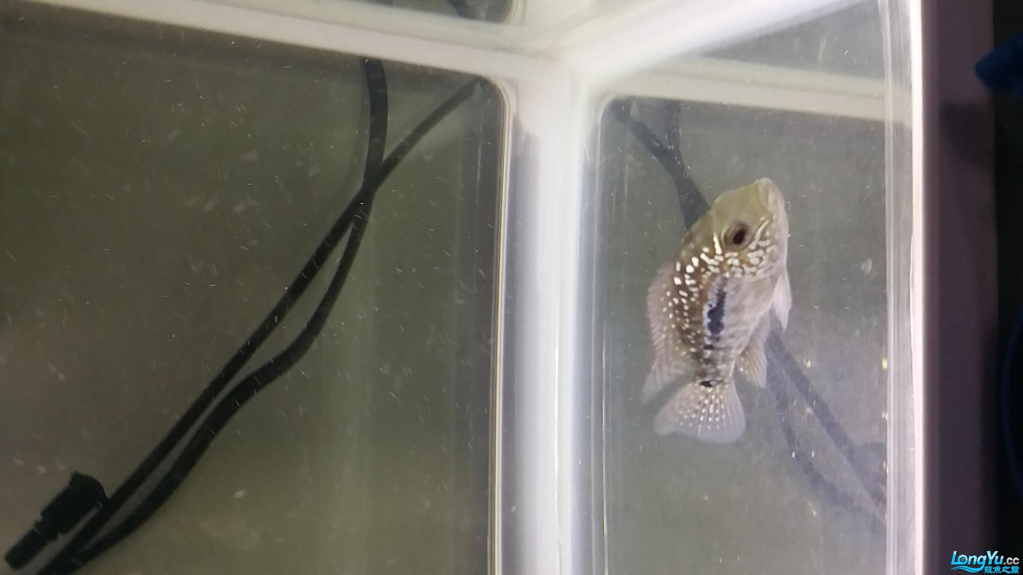 请大神帮忙看看这是什么鱼苗 深圳观赏鱼 深圳龙鱼第1张
