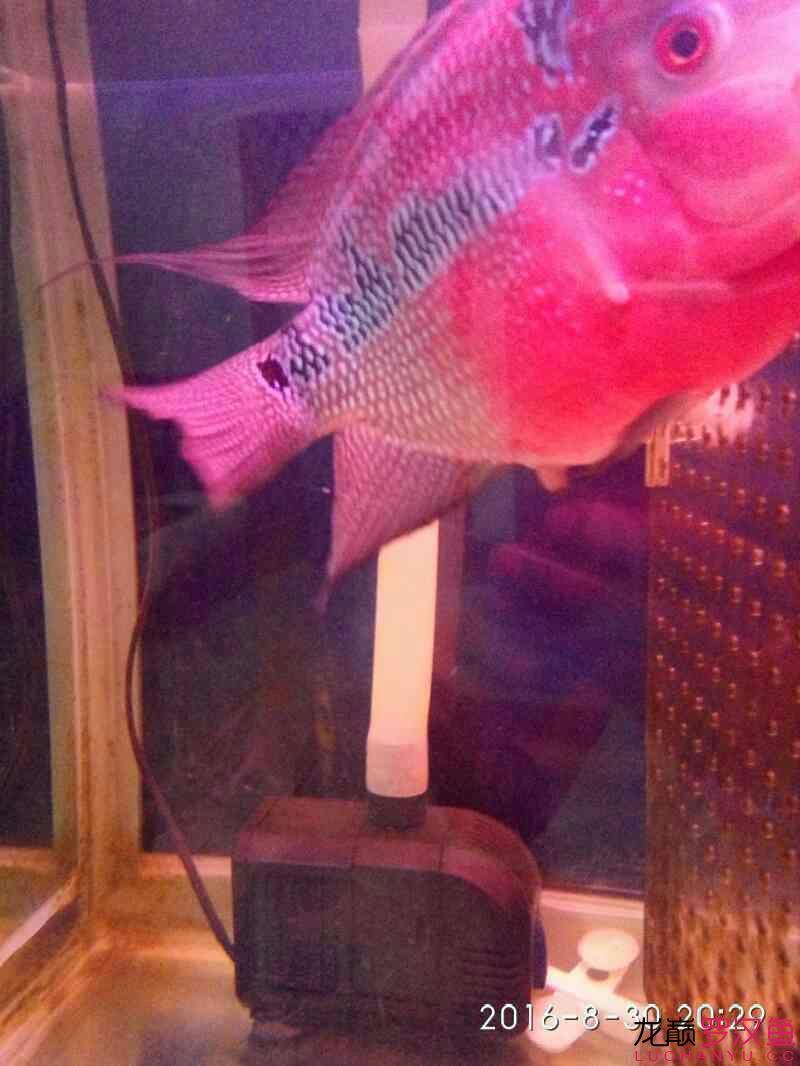 台州毛毛狗头鱼每个月一次这次可别吃了台州水族馆门票 台州龙鱼论坛 台州水族批发市场第2张