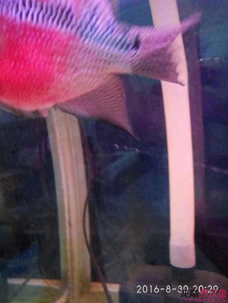 台州毛毛狗头鱼每个月一次这次可别吃了台州水族馆门票 台州龙鱼论坛 台州水族批发市场第1张