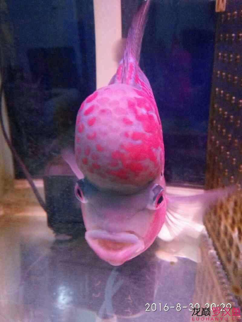 台州毛毛狗头鱼每个月一次这次可别吃了台州水族馆门票 台州龙鱼论坛 台州水族批发市场第3张