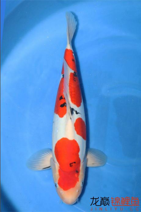 只是眼馋一下 福州观赏鱼 福州龙鱼第3张