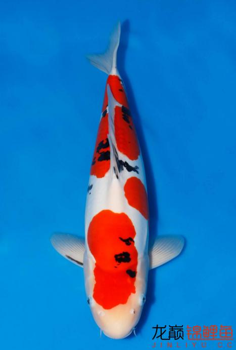 只是眼馋一下 福州观赏鱼 福州龙鱼第4张