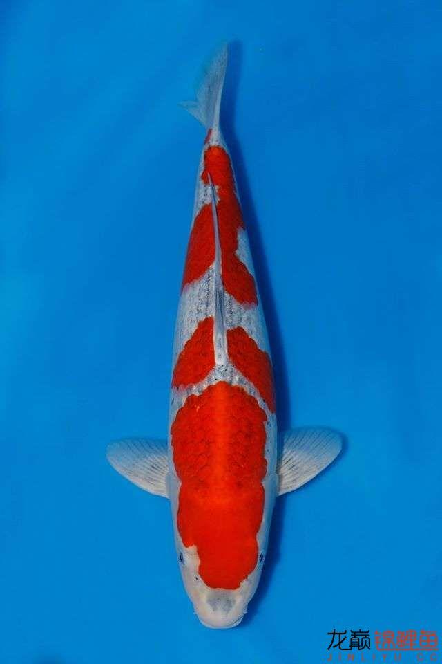 只是眼馋一下 福州观赏鱼 福州龙鱼第6张