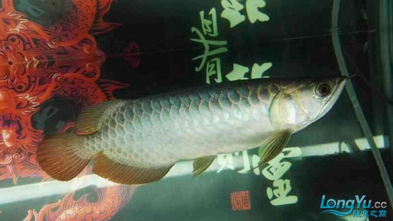 金龙鱼已经养了两个月 温州龙鱼论坛 温州龙鱼第1张