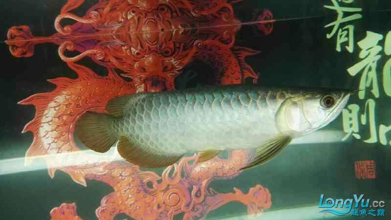金龙鱼已经养了两个月 温州龙鱼论坛 温州龙鱼第2张