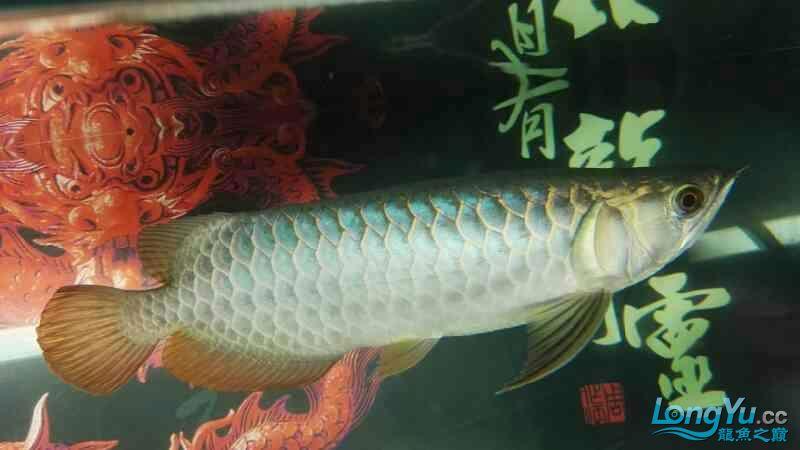 金龙鱼已经养了两个月 温州龙鱼论坛 温州龙鱼第5张