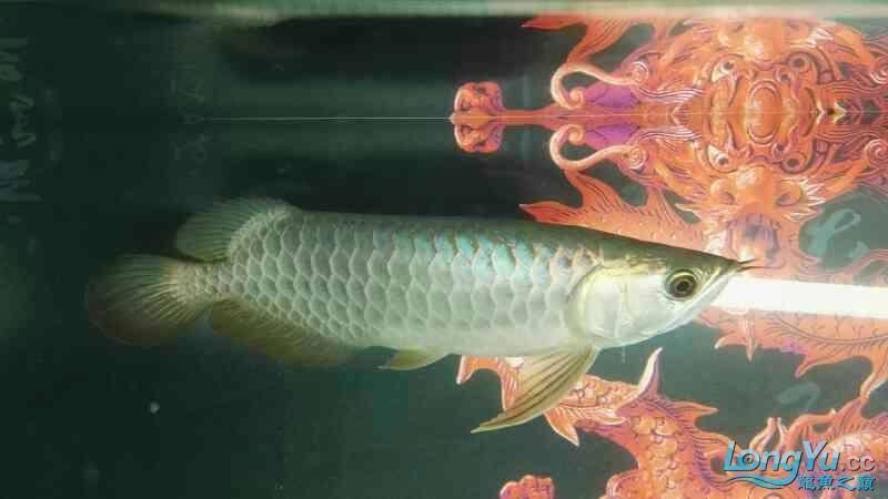 金龙鱼已经养了两个月 温州龙鱼论坛 温州龙鱼第6张