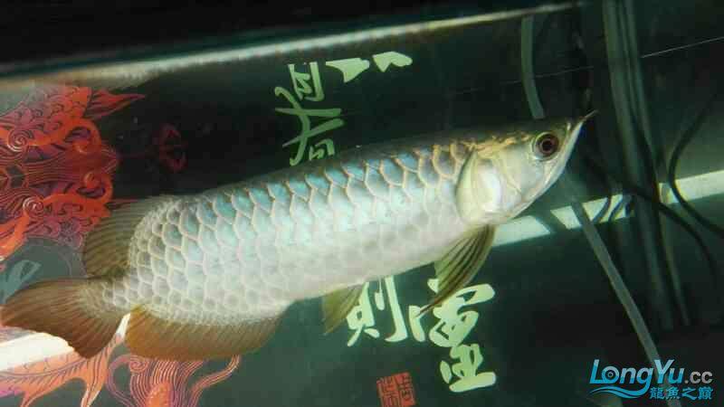 金龙鱼已经养了两个月 温州龙鱼论坛 温州龙鱼第9张