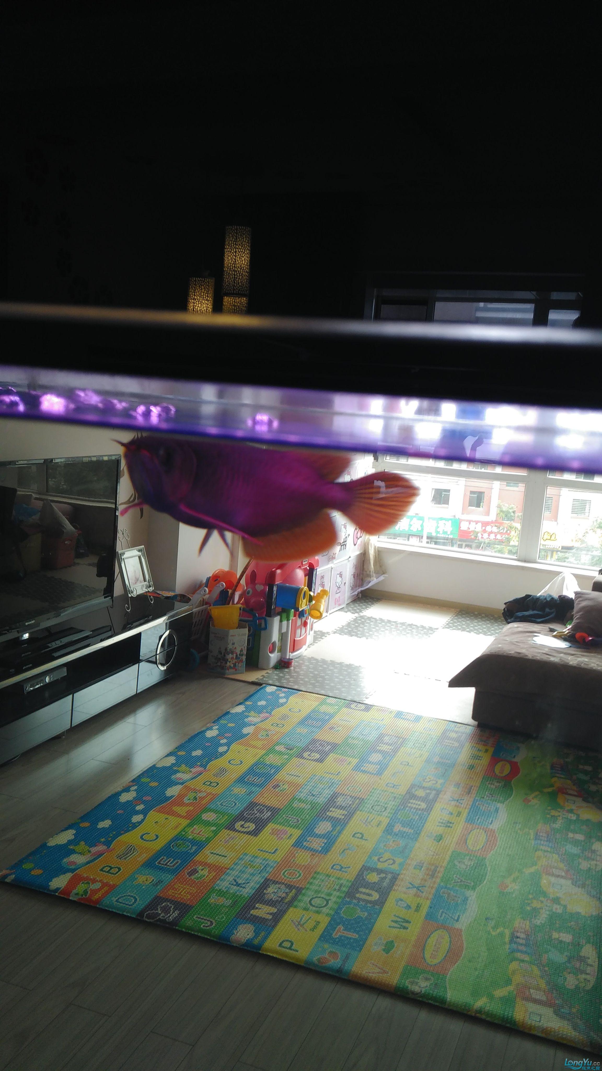 温州银龙鱼苗吃什么请到家一个月的小红 温州龙鱼论坛 温州龙鱼第3张
