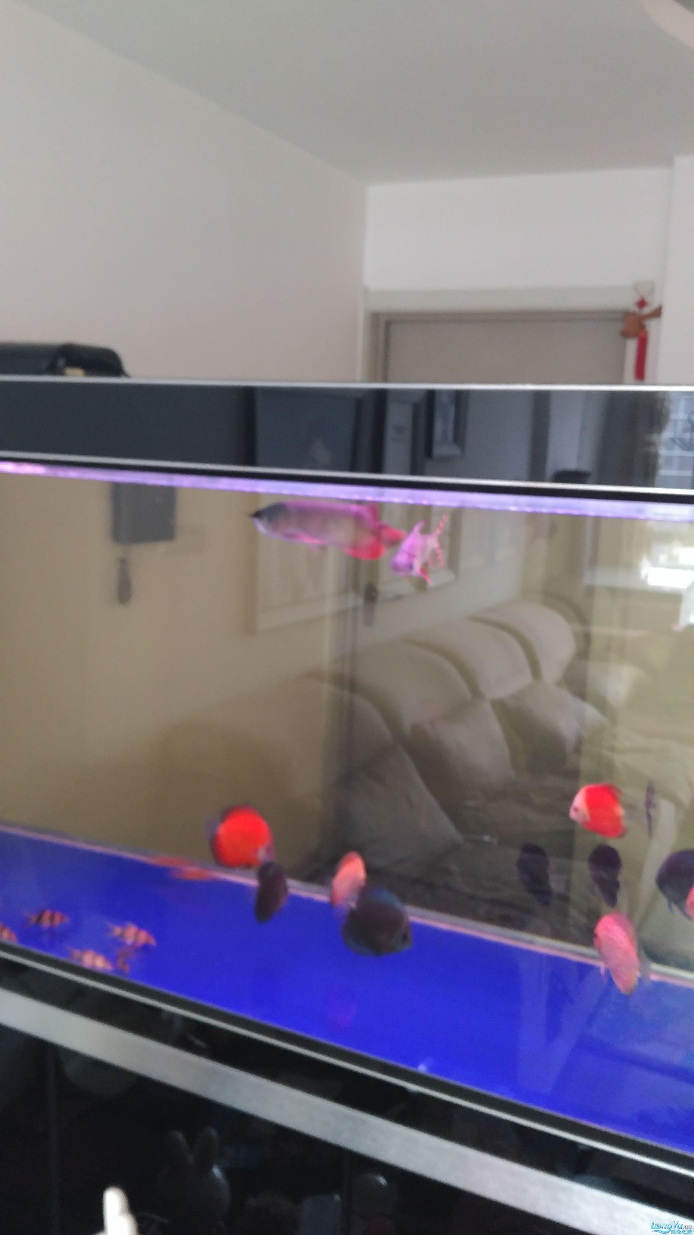 温州银龙鱼苗吃什么请到家一个月的小红 温州龙鱼论坛 温州龙鱼第1张
