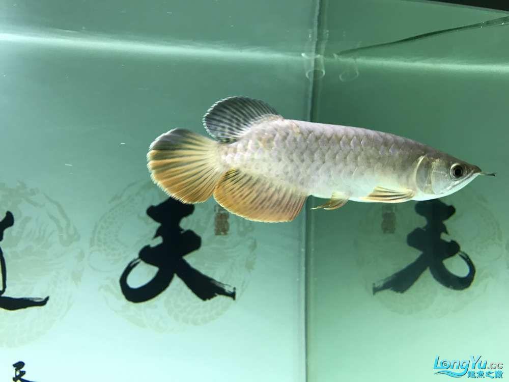 老师们这条小龙怎么样? 郑州龙鱼论坛 郑州龙鱼第4张