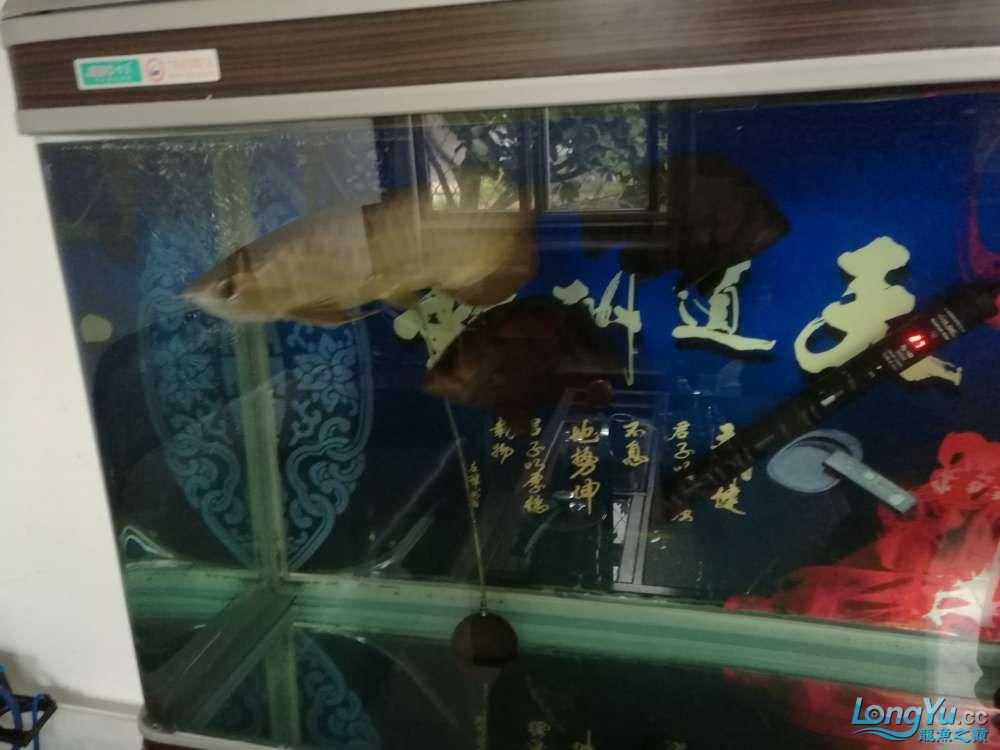 一金龙2虎鱼带缸出售宜宾黄化白子银龙鱼 宜宾水族批发市场 宜宾龙鱼第1张