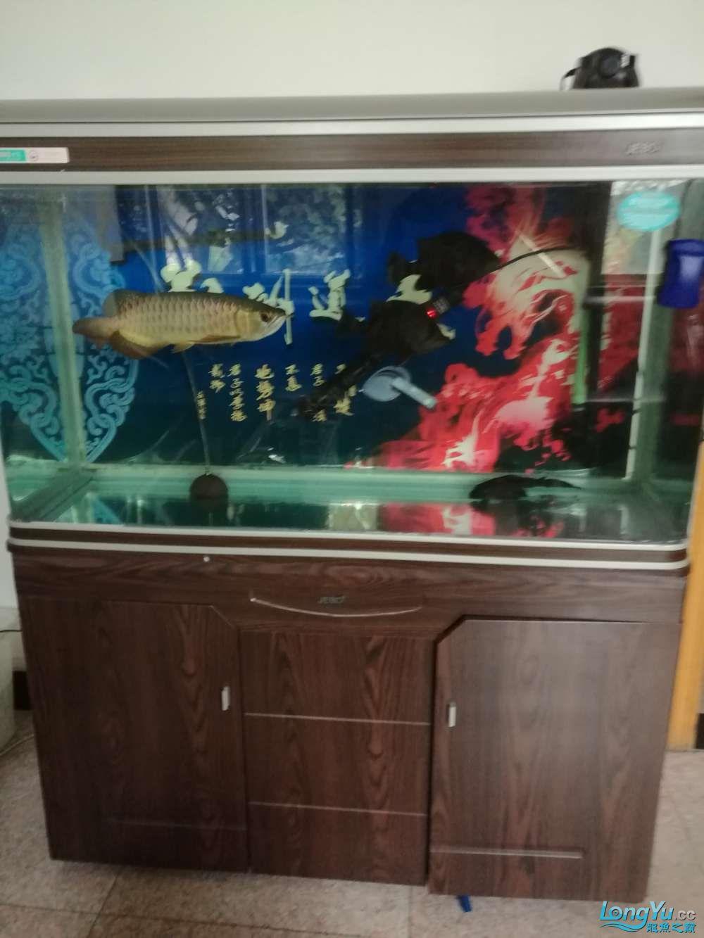 一金龙2虎鱼带缸出售宜宾黄化白子银龙鱼 宜宾水族批发市场 宜宾龙鱼第2张