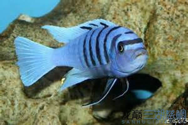 Cynotilapia afra white top Galileya Reef 小骷髅 .jpg