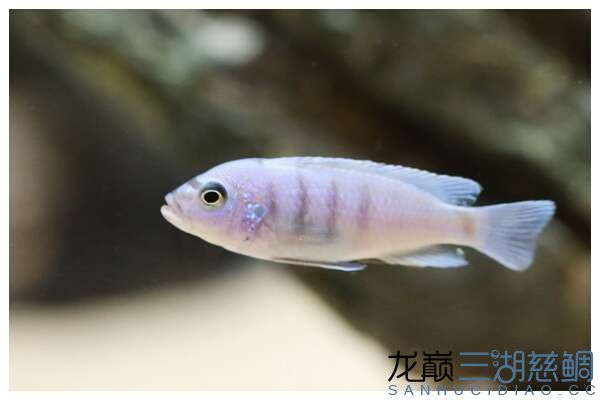Cynotilapia afra white top Galileya Reef 小骷髅 1.jpg