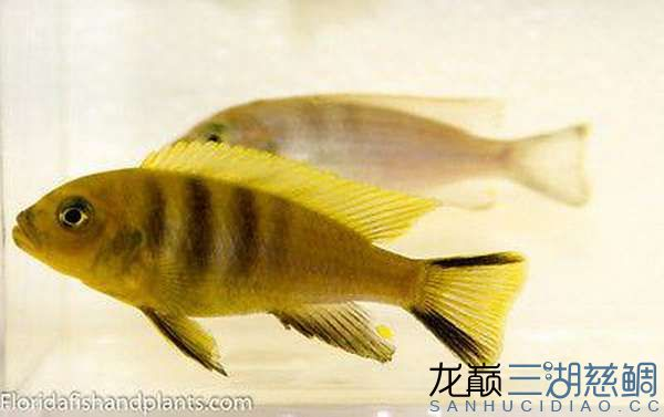Cynotilapia afra yellow Mara Rocks黄阿芙拉马拉岩.jpg