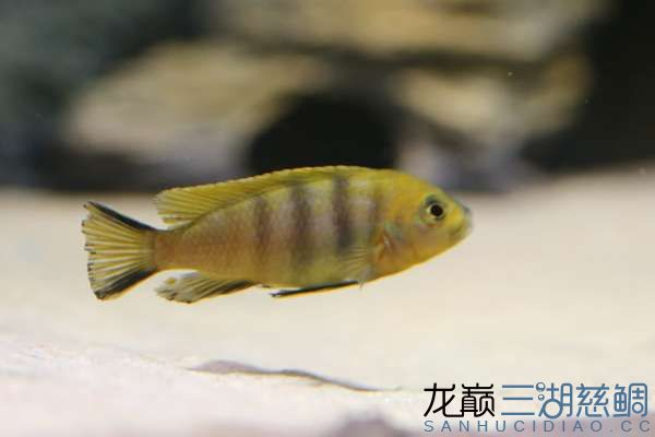 Cynotilapia afra yellow Mara Rocks黄阿芙拉马拉岩2.jpg
