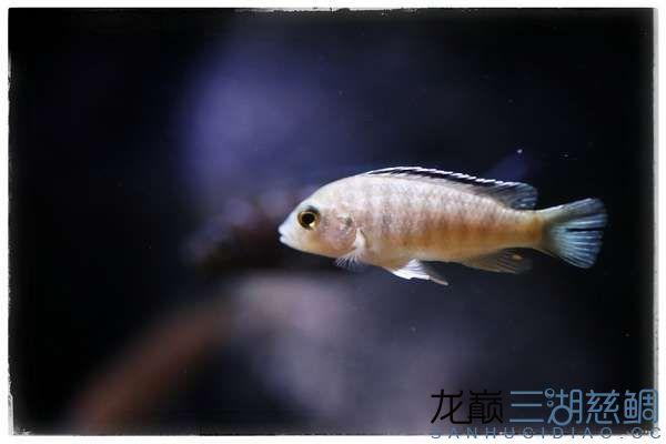 Labidochromis caeruleus white Nkali1.jpg