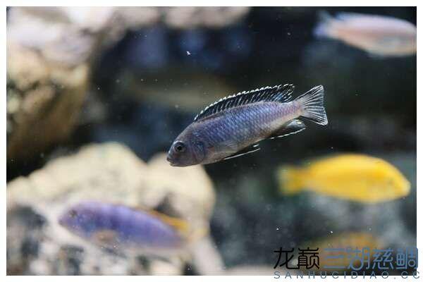Melanochromis perileucos B W johanni黑白约翰 (2).jpg