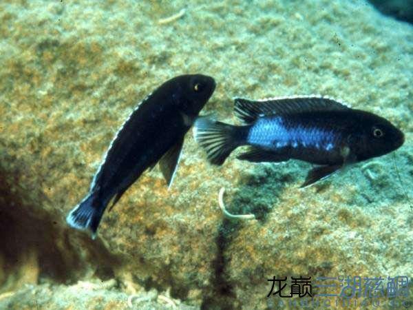 Melanochromis perileucos B W johanni黑白约翰.jpg