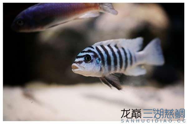 metriaclima sp zebra chilumba maison reef 大骷髅 (2).jpg