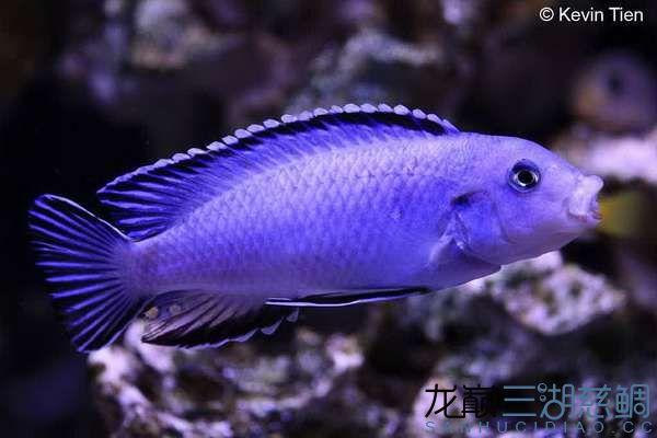 Pseudotropheus socolofi 索科洛夫斑马.jpg