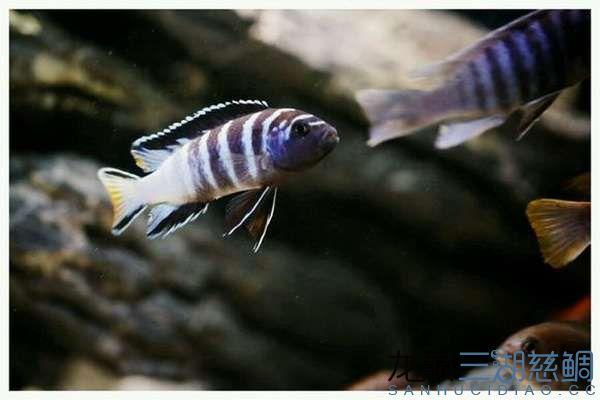 Pseudotropheus sp. elongatus mphanga姆潘加黄尾长身斑马 (2).jpg