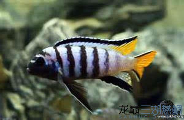 Pseudotropheus sp. elongatus mphanga姆潘加黄尾长身斑马.jpg