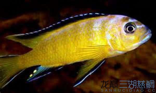 pseudotropheus sp.elongatus uisiya尤西亚.jpg