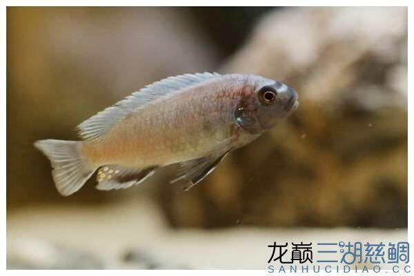 Pseudotropheus sp.\'polit\' (Lion\'s Cove)乌鸡 狮子湾 9-10cm (2).jpg