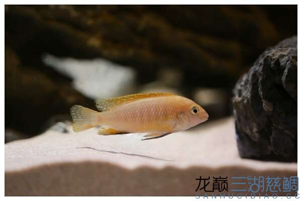 Pseudotropheus tropheops red fin Hai Reef  (2).jpg