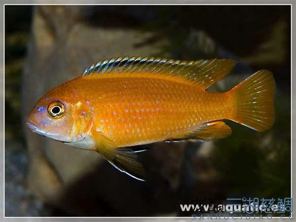 Pseudotropheus tropheops red fin Hai Reef .jpg