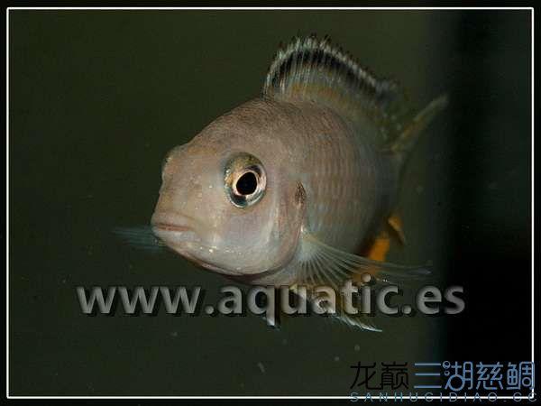 Pseudotropheus tropheops red fin Hai Reef female.jpg