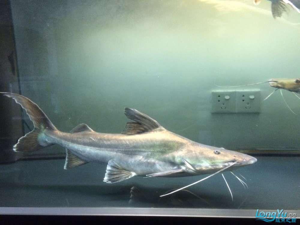 出售大型鸭嘴 福州龙鱼论坛 福州龙鱼第3张